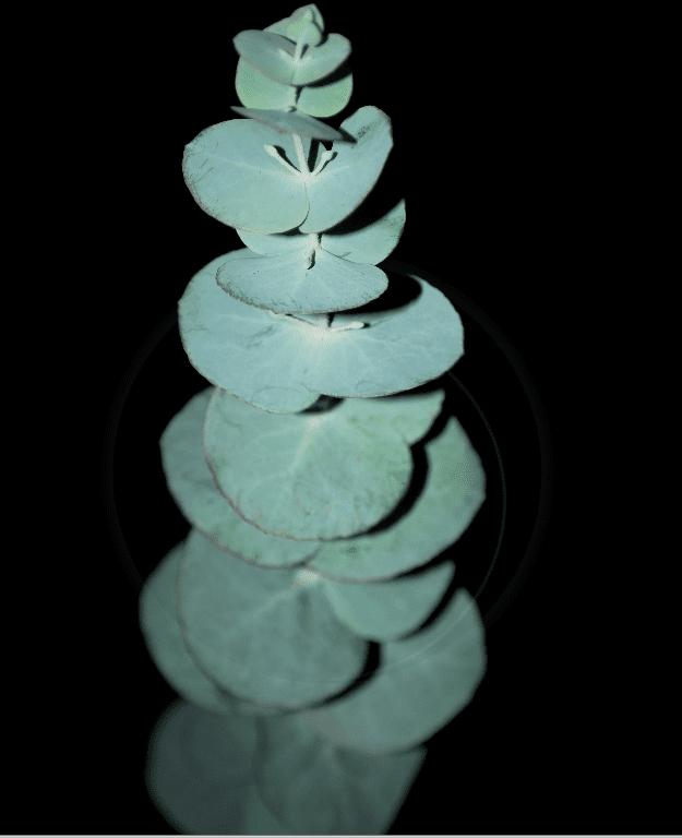 Silver Dollar Tree