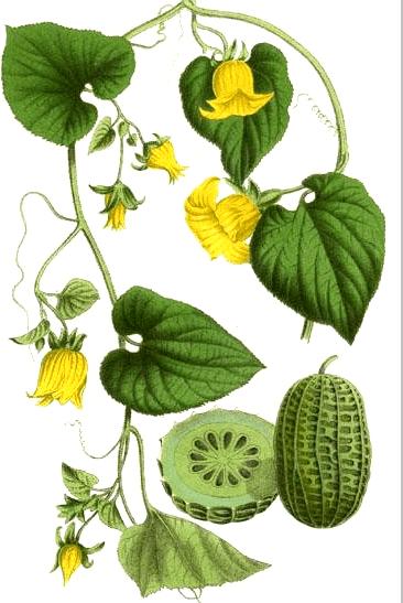 Ziemniaczka Sercowata