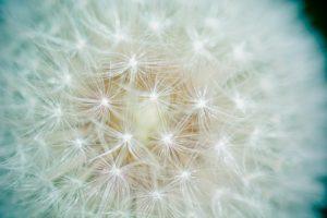 dandelion-1423174_1280