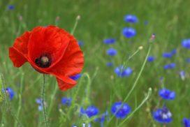 poppy-50590_1280