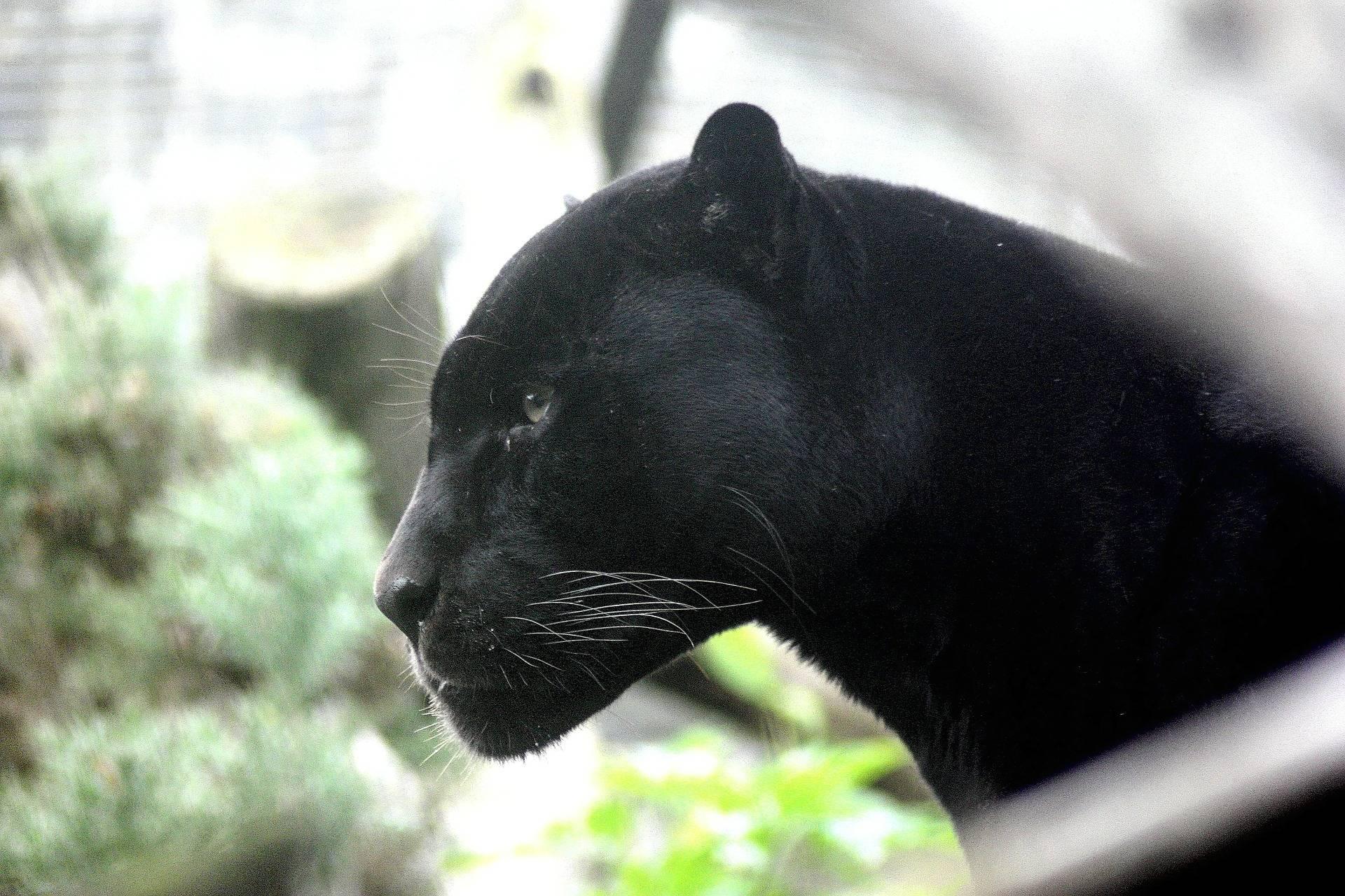 Czarna Puma Pewien Odcień Kobiecości Akademia Ducha